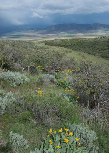 Bitterbrush, arrowleaf balsamroot and great mule deer country. Copyright Ralph Maughan
