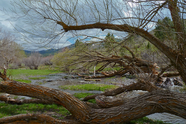 Beaver-felled willow trees. East Fork Mink Creek near Pocatello, ID. Copyright Ralph Maughan