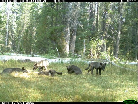 The pups of the Shasta wolf pack.
