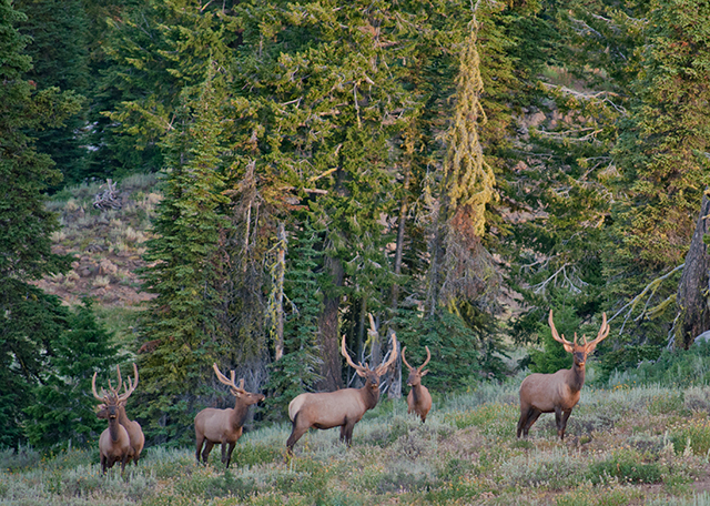 The bull elk of August in the Wallowa Mtns. of NE Oregon. Photo copyright Ralph Maughan