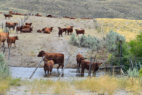 Cattle wade in Wet Creek, a bull trout-bearing stream in the Little Lost River watershed. Copyright Ralph Maughan. Aug. 2015