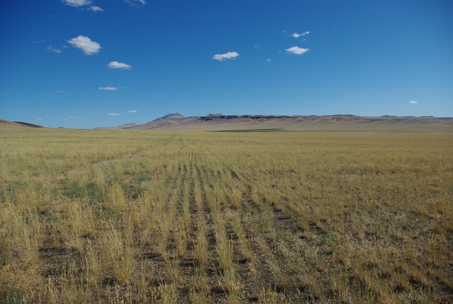 Siberian wheatgrass planted in neat rows after the Long Draw fire of 2012.