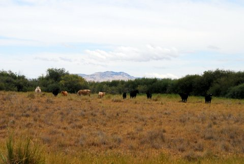 Trespass cattle on the Refuge, 2014. Photo Dr. Steve Herman.