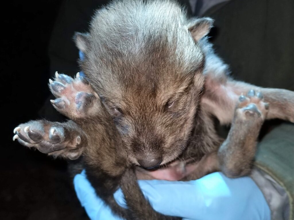 Photo courtesy of the Wolf Conservation Center, NY.