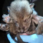 Photo courtesy of the Wolf Conservation Center, NY.