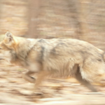 Mexican Wolf running