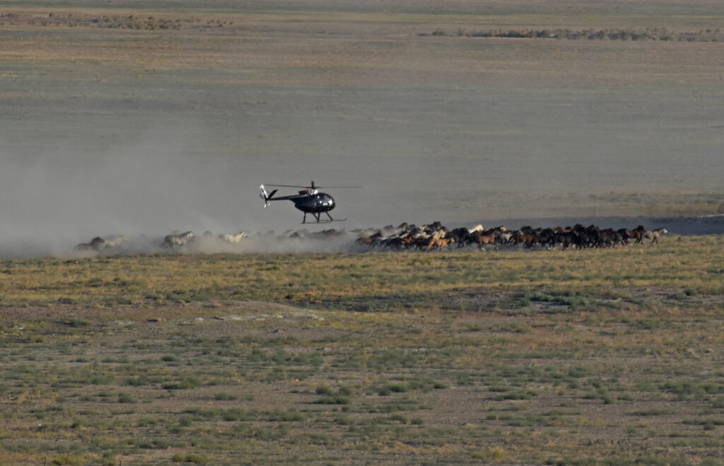 Helicopter rounding up wild horses in a cloud of dust
