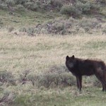 Wolf photo by Ken Cole